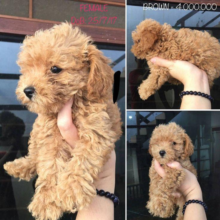 Dijual Brown Poodle