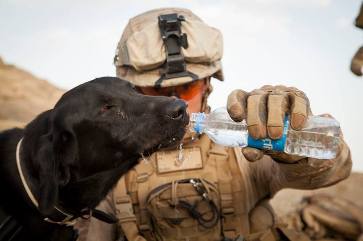 U.S. Marine Corps Lance Cpl. Joseph Graves with Fox Company, 2nd Battalion, 8th Marines (2/8), Regimental Combat Team 7 gives water to Cane, a military working dog, during Operation Nightmare in Nowzad, Afghanistan, June 6, 2013. Operation Nightmare was a clearing operation led by Afghan National Security Forces and supported by the Marines of 2/8. (U.S. Marine Corps photo by Kowshon Ye/Released)