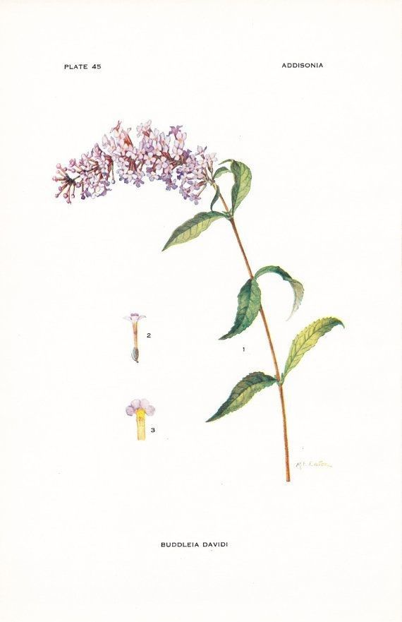 Butterfly Bush Drawing Lilac Tattoo Small Flower Tattoos Bush Drawing