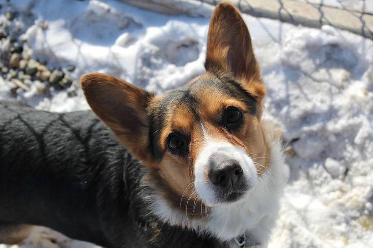 Adopt Brownie On Dogs Corgi Dog Pet Care Tips