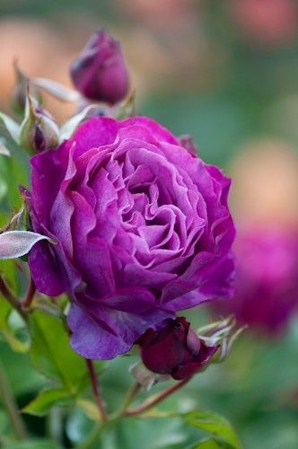 ~Reine de la Victoria, a lovely Old Garden Rose. It is more pink than this purple colour