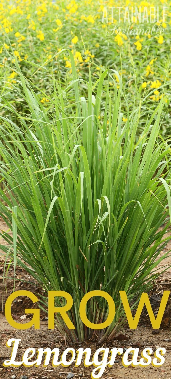A Lemongrass Plant Is Easy To Grow And Pretty Too Growing Lemongrass In Your Own Garden Means You Ll Have It On Lemon Grass Grow Lemongrass Lemongrass Plant