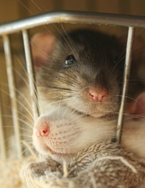 Did you know that scientist discovered recently that rats were not responsible for spreading the plague?  Spread the word.  We don't deserve to be just thought of as snake food.