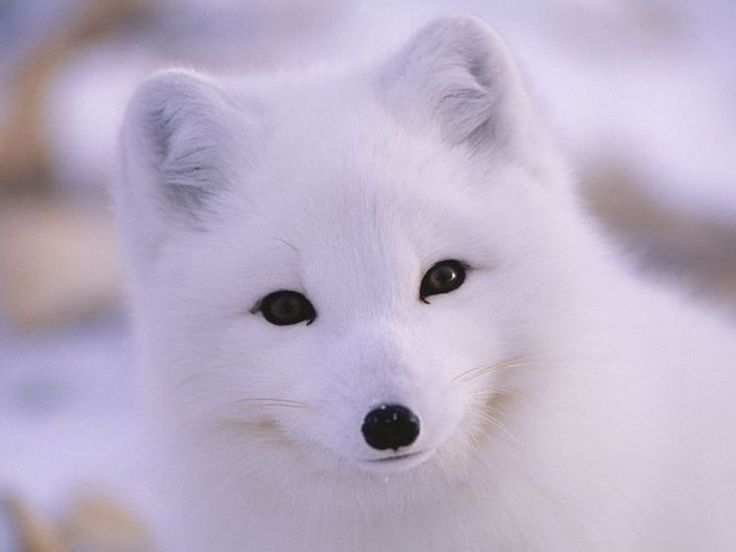 Песец\Arctic fox