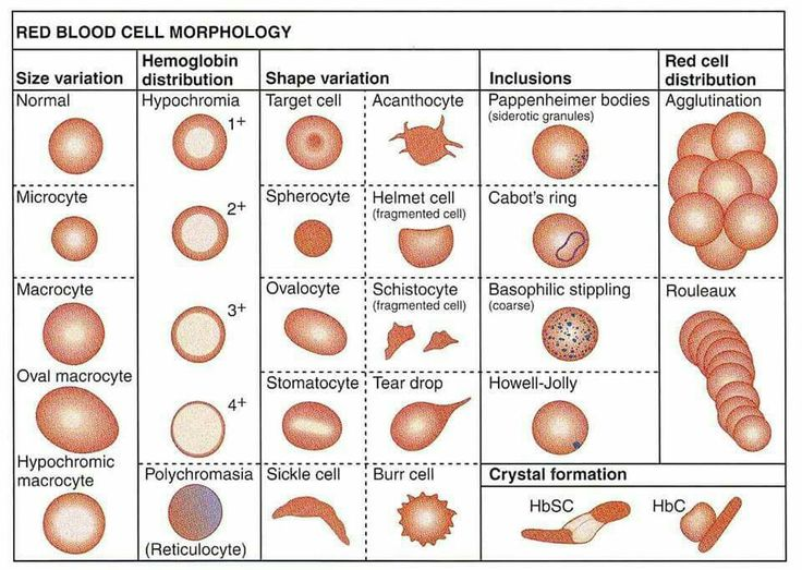 red blood cell morphology #hematologia