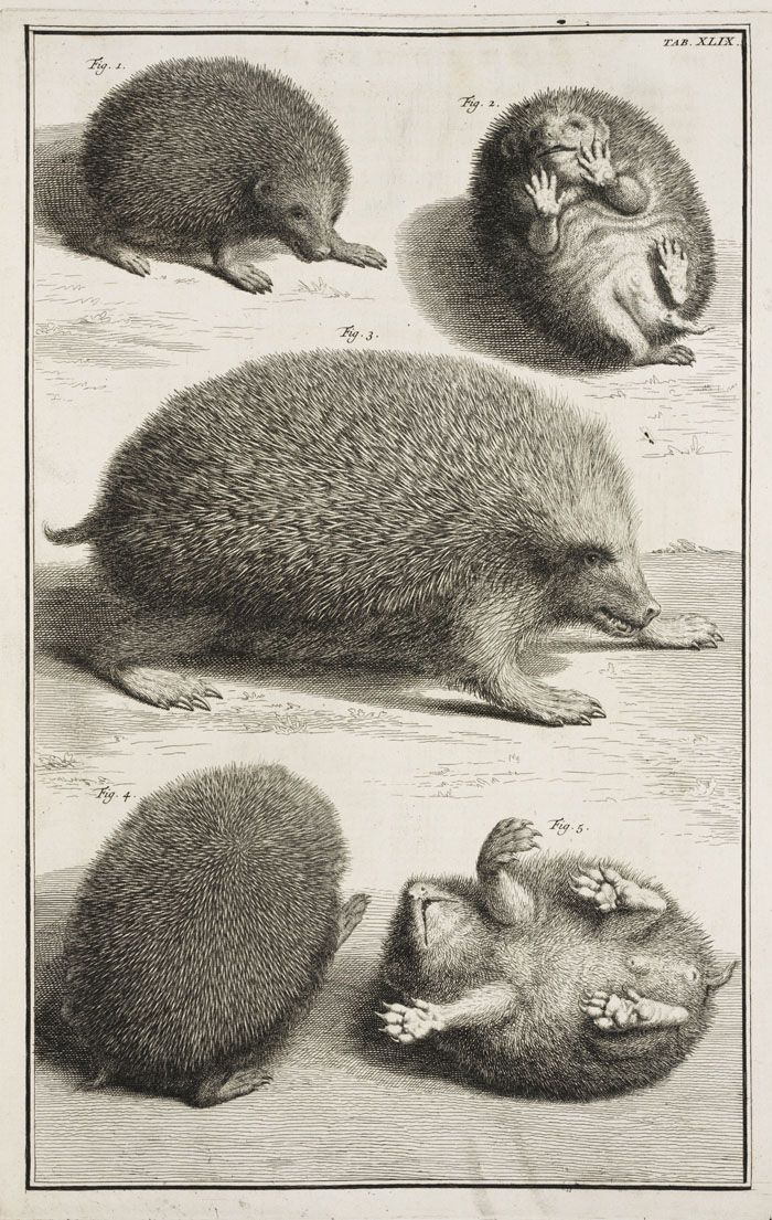 "lindahall: "" The hedgehog seen from several views from Albertus Seba's magnificent 1734 natural history, Locupletissimi rerum naturalium thesauri accurata descriptio. """
