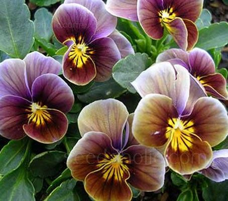 Viola x wittrockiana 'Velour Frosted Chocolate' - U-V - A-Z Botanical Name - Flowers Seeds