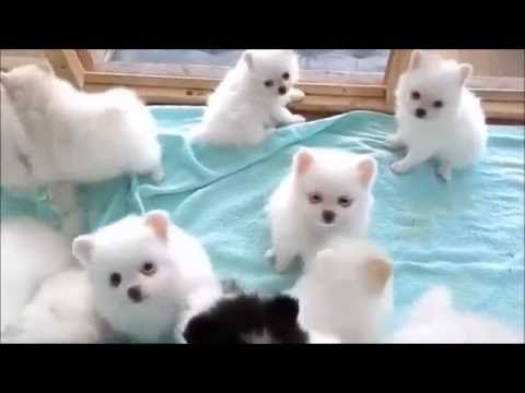 So cute teacup pomeranian puppies For Sell + 3 Puppies For Free