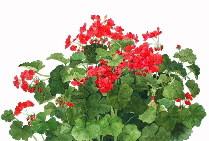 Gerani rossi crescono nel mio giardino acquerello riproduzione di wandazuchowskischick su Etsy https://www.etsy.com/it/listing/86639013/gerani-rossi-crescono-nel-mio-giardino