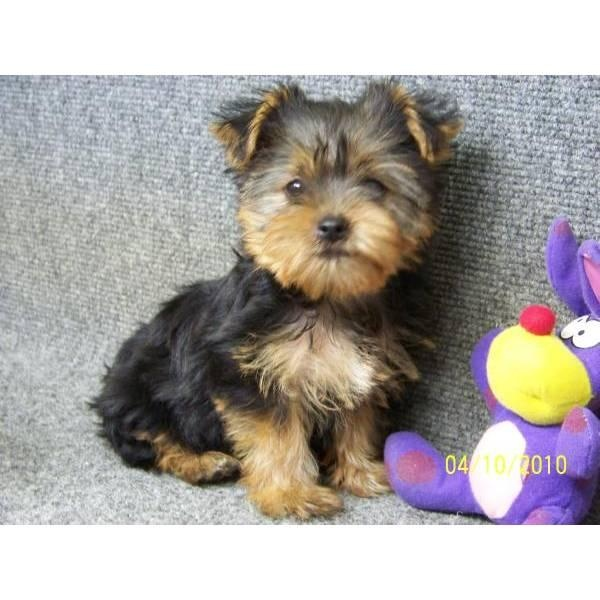 What Dog Food Is Best For Yorkie Puppies