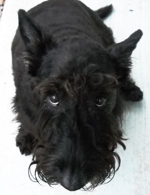Black Scottish Terrier | Scottish Terrier Information, Pictures of Scottish Terriers | Dogster