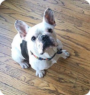 Katy, TX - French Bulldog. Meet Grant, a dog for adoption. http://www.adoptapet.com/pet/18439169-katy-texas-french-bulldog