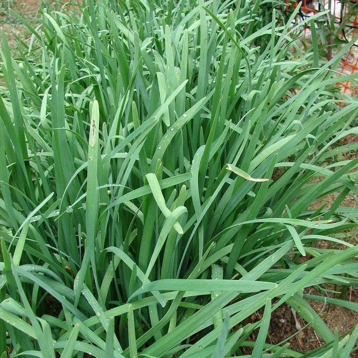 Garlic Chives Seeds (Allium tuberosum)