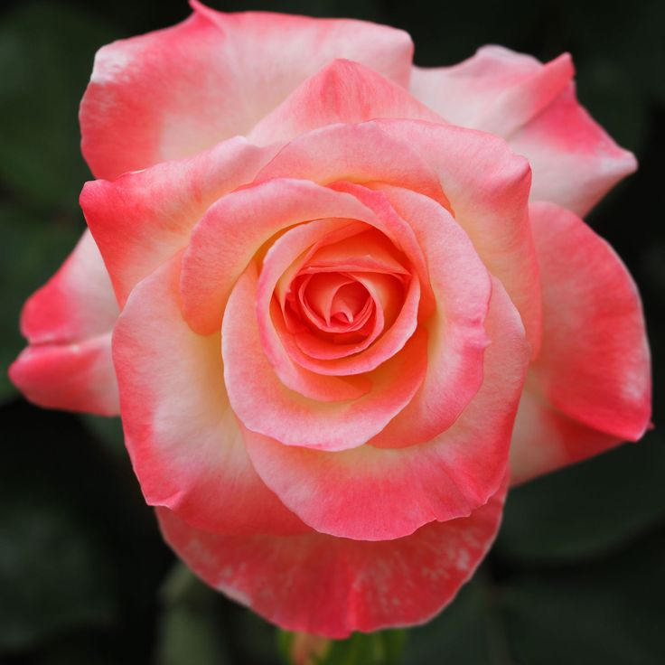 219 Best Images About Beautiful Rose Collection On