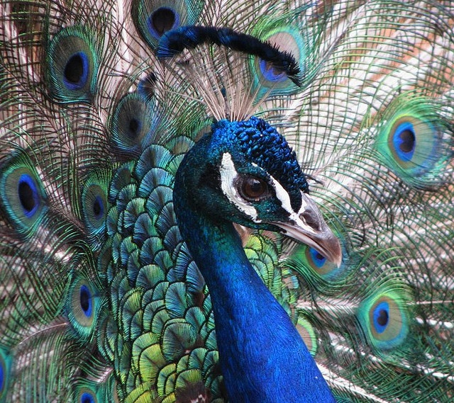 Peacock Face Close Up Mural Inspirations Pinterest