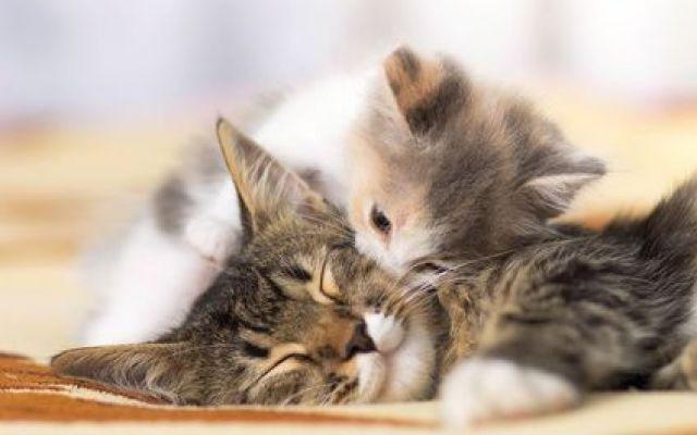 Capire il comportamento del gatto ed il suo linguaggio Per chi ha un gatto in casa capire il suo modo di comunicare ed il suo comportamento è fondamentale per avere un'ottima convivenza. In questo articolo affronteremo il comportamento ed il linguaggio  #linguaggiodeigatti