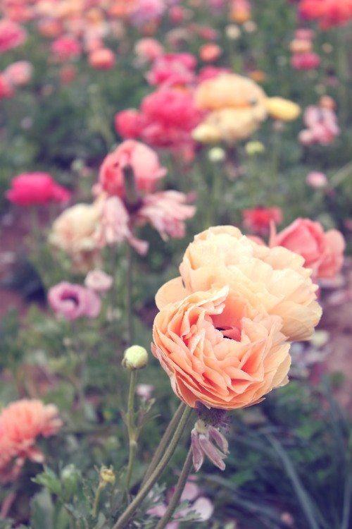 ranunculus <3 favorite flower.