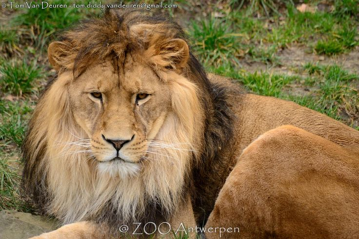 Afrikaanse leeuw - Panthera leo leo - African Lion | by MrTDiddy