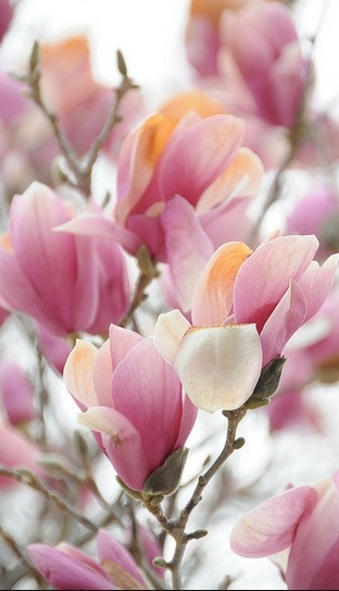 Pink magnolia flowers. Oh, if I could have a line of these trees....