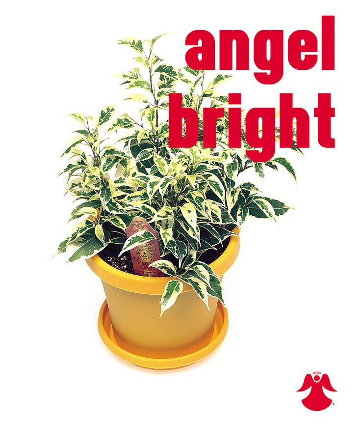 Ficus Angel Bright. Ficus Benjamina is the backbone of most house ficus varieties. In nature this graceful tropical tree of dense growth, forming aerial roots, and with branches of somewhat pendant habit originates from India, Southeast Asia and Australia.
