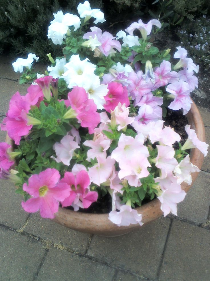 Pretty pink petunias.....
