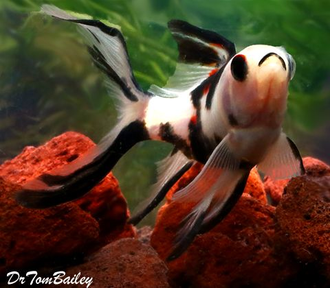 Panda Shubunkin Pond Comet Goldfish