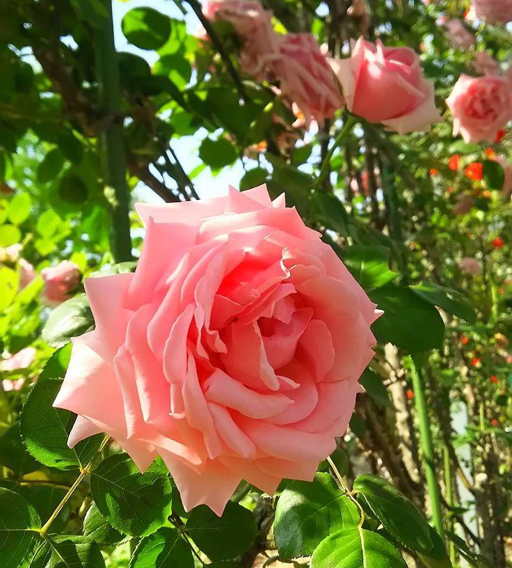 #バラ #薔薇 #rose #roses #pinkroses #flower #flowers #flowergram #flowerstagram #平成の森公園