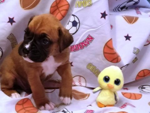 Litter of 5 Boxer puppies for sale in SUCCASUNNA, NJ. ADN-26836 on PuppyFinder.com Gender: Male. Age: 5 Weeks Old