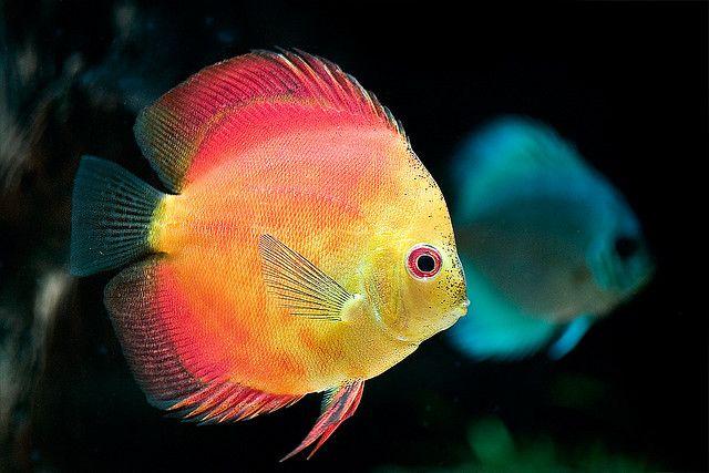 #discus #fish