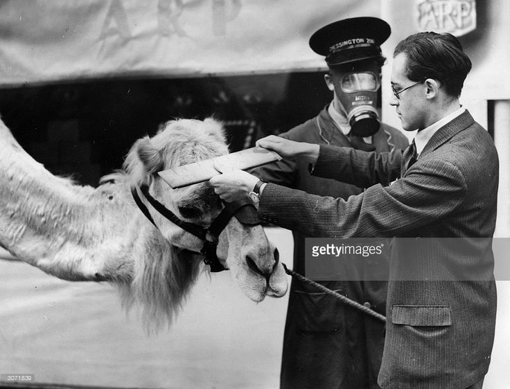 A camel at Chessington Zoo is measured for a respirator at the Air Raid Precautions Department in Surbiton.