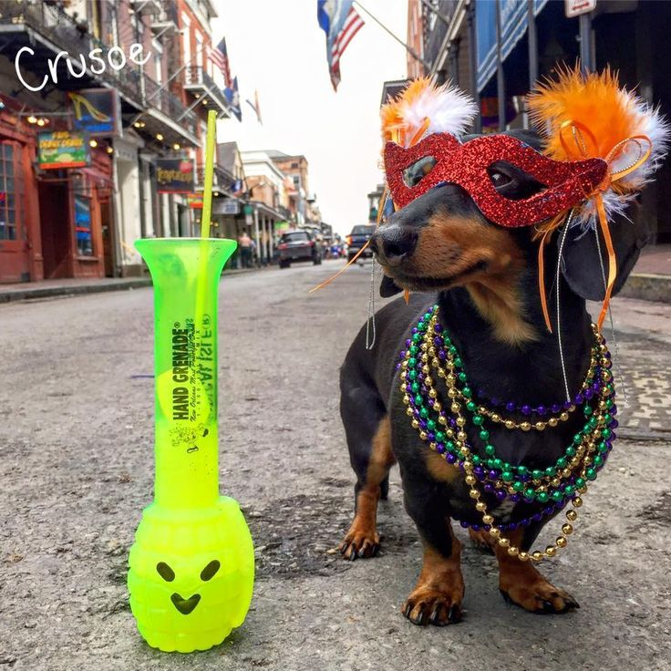 Pin By Joann Peterson On Doxins Crusoe The Celebrity Dachshund