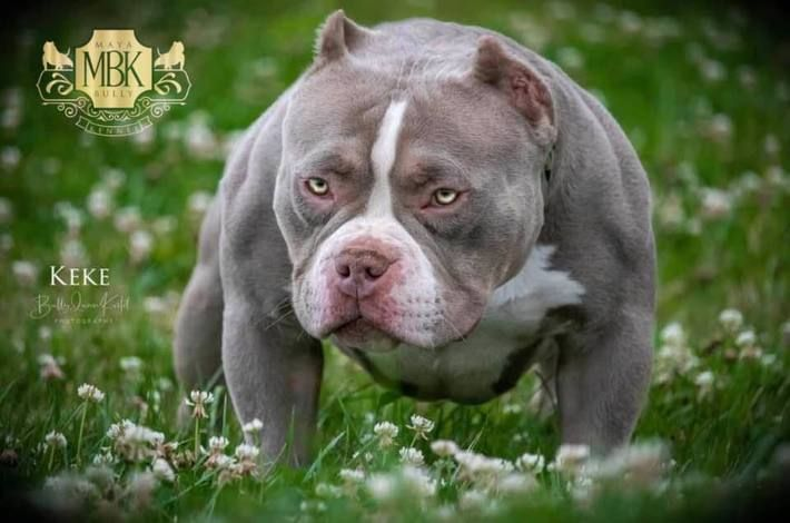 Top Pocket Bully Breeding Venomline 2x Venom Pups 13 Month Old Update Blogs This Is Bully American Bully Pocket Bully Bully Breeds