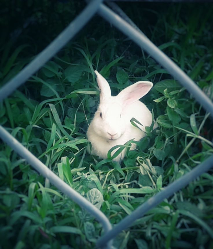 Title:  red eyed bunny (lost in wonderland) Date:  May 2016 Camera: Samsung J1 2016 Location:  Sons of Holy Mary Immaculate School Impression: I spotted Frosty the bunny when I checked the playgrou…