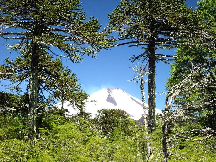 Fantastic Araucaria Trees framing the Llaima Volcano and a great post on words that refer to Chile and that start with A. Read more.