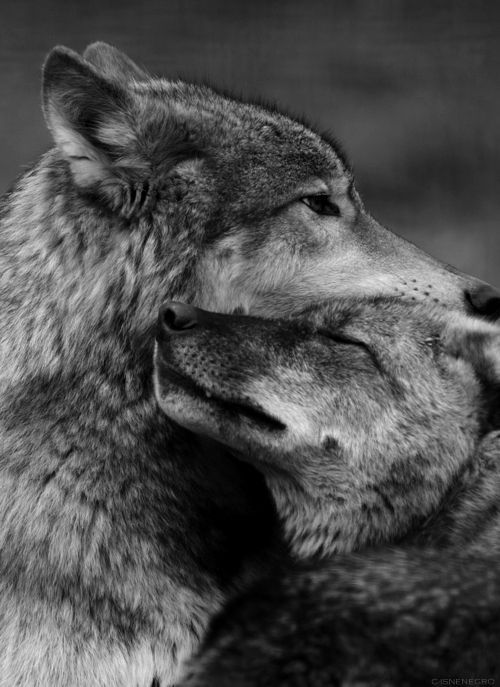 The ancestors of our beloved dogs. Wolves in love.