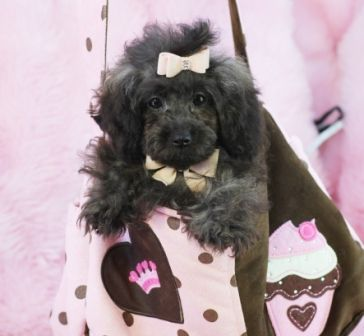 ♕♕♕ Poodle Pasha FOR SALE! ♕♕♕ Bring This Beautiful Baby Home For the Holidays! 954-353-7864 www.teacuppuppiesstore.com #poodle #fluffy #noshed #hypoallergenic #toy #teacup #micro #pocketbook #teacuppuppies #teacuppuppiesstore #tiny #teacuppuppiesforsale #teacuppoodle #small #little #florida #miami #fortlauderdale #bocaraton #westpalmbeach #southflorida #miamibeach #cute #adorable #puppy #puppiesforsale #puppylove #tinypoodle #phantom #rare #unique: