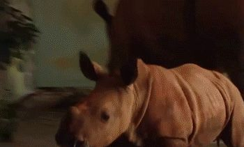 This other rhino getting its belly rubbed. | 23 Baby Rhinos That Will Make You Impossibly Happy