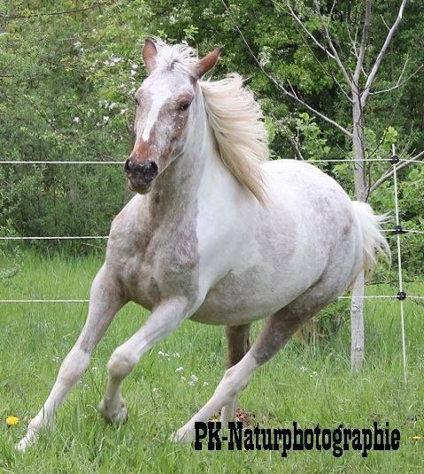Red Roan Pinto