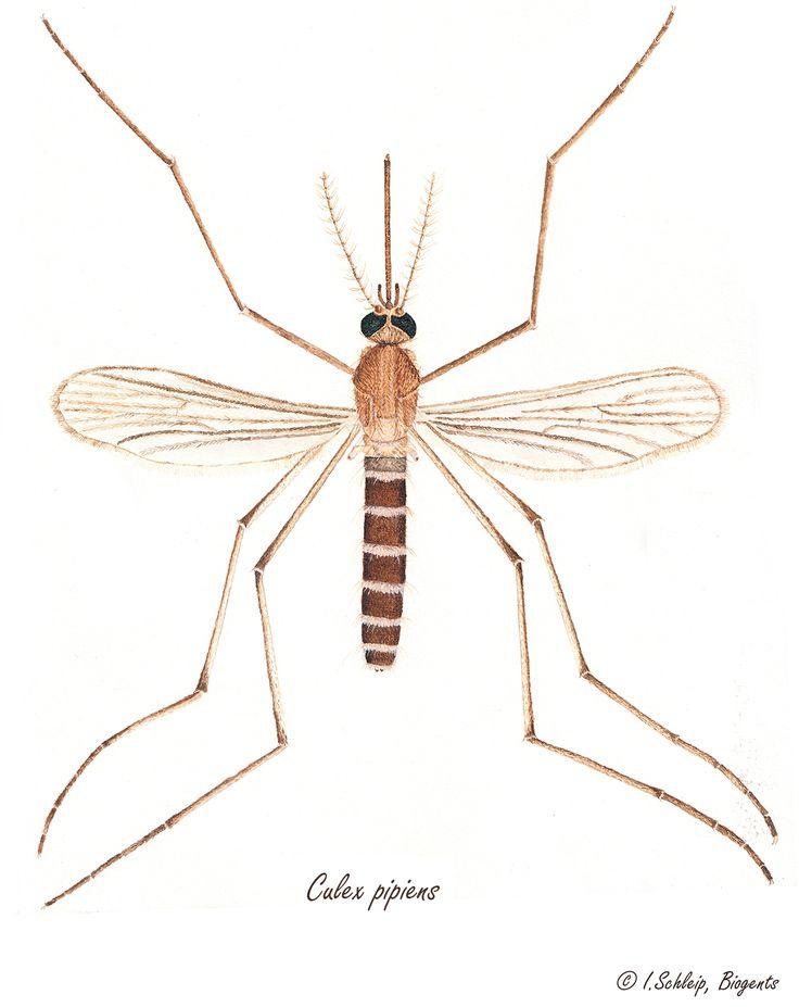8 best Mückenbilder, Mosquito Pictures images on Pinterest ...