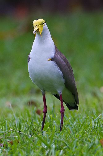 Masked Lapwing. Spotted male, female and two young birds on school grounds at…