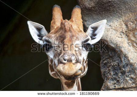 Lauren Proctor Photography   Funny Giraffe Face on Shutterstock