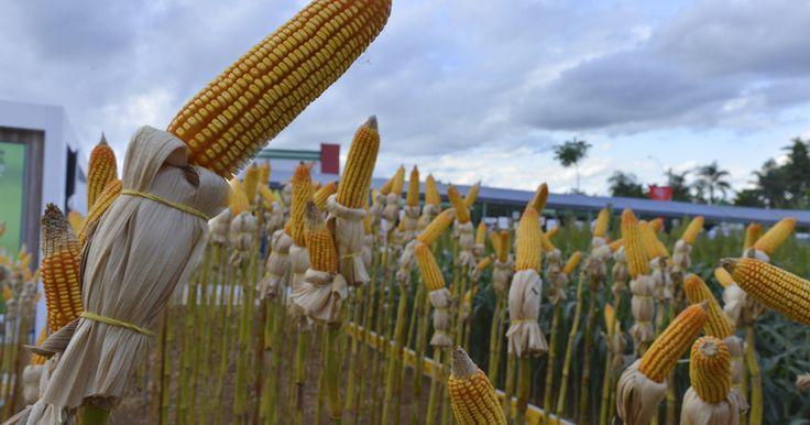 Cerrado requer cultivares de milho mais adaptados às suas condições – Jornal da USP
