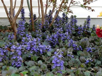 Ajuga reptans 'Catlin's Giant' Common Name: bugleweed  Height: 0.25 to 0.75 feet Spread: 1.00 to 2.00 feet Bloom Time: April to May Bloom Description: Blue Sun: Full sun to part shade
