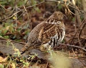 A Rough Grouse (Ruffed Grouse Partridge) - Bing images