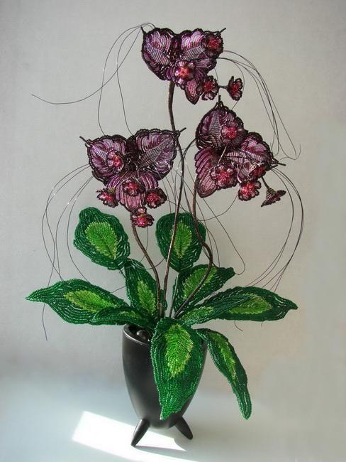 Такка-черная орхидея