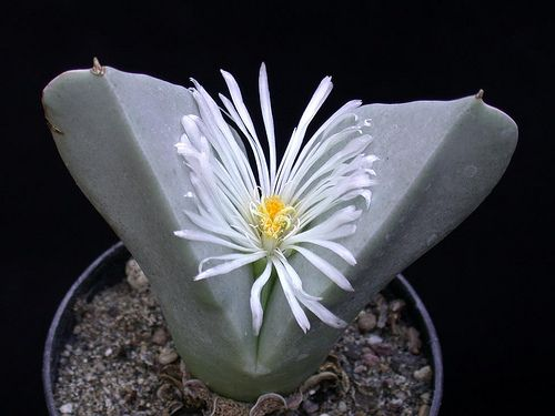 Conophytum herreanthus {Hardy 637, RSA, Umdaus} | Succulents Love by Pasquale Ruocco (stabiae) | Flickr
