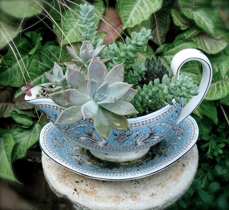 Succulents Planted in a White and Baby Blue Asian Style Gravy Boat.