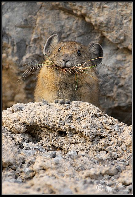 Pika. Member of a rodent-like group called Lagomorphs.