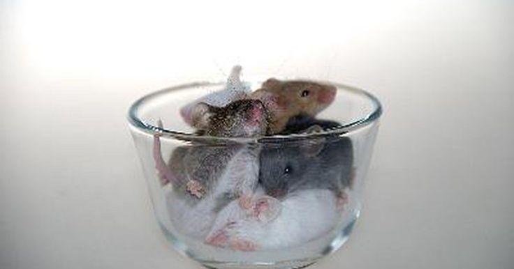 ¿Puede el aceite de menta deshacerse de los ratones?. Si viste un ratón corriendo por el suelo y no quieres una pantalla de trampas por toda la casa, prueba con un enfoque más humano y agradable para librar al lugar de los ratones. No sólo este truco funciona con los roedores no deseados, sino con otras criaturas molestas también.