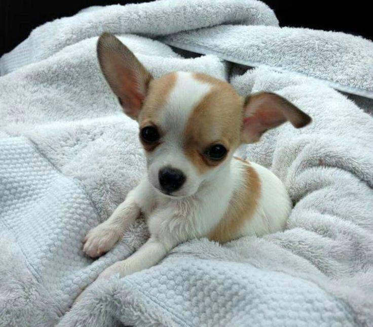 Applehead Chihuahua Lifespan Goldenacresdogscom